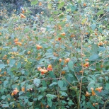 Jewelweed (touch me not)