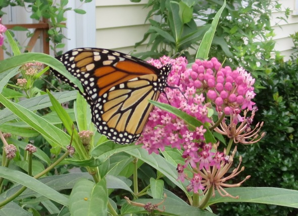 Monarch butterly on swamp milkeweed in the townhome garden of Barbara Walvoord and Sharon Grace, July 14, 2014.