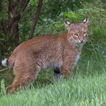 Bobcat (Chuck Gillies photo)