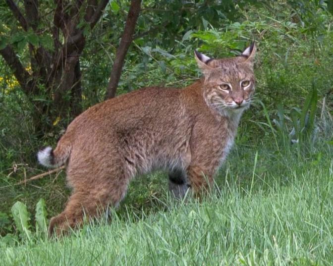 Lathrop's Bobcat(s)