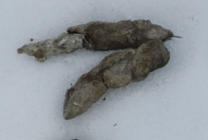 Bobcat scat on snow in wetland behind Huckleberry Lane. Not pointy end. Photo by Sharon Grace, winter 2014.