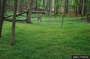 stilt grass understory 1378046-SMPT