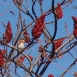 Bluebird & Staghorn Sumac