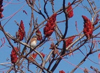 Sumac: A Forest Scout, a Bird Food, a Spice, a Dye, a Medicine, a Pipe, a Smoke…