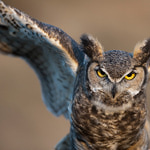 Sounds of Lathrop Land: The Great Horned Owl