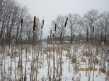 wetland with cattails