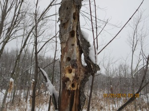 Pileated woodpecker holes on east campus