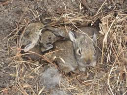 Photo by Nick Sathe, Athens Ohio. http://www.ohare.org/baby-wild-rabbits.htm