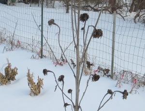 sunflower snow crop snow 1 29 15 060