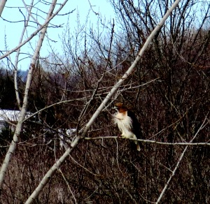 Hawk at Lathrop. Photo by Barbara Walvoord