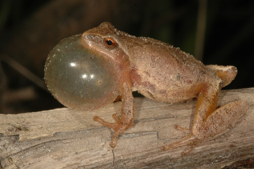 Spring Peepers are Singing at Lathrop