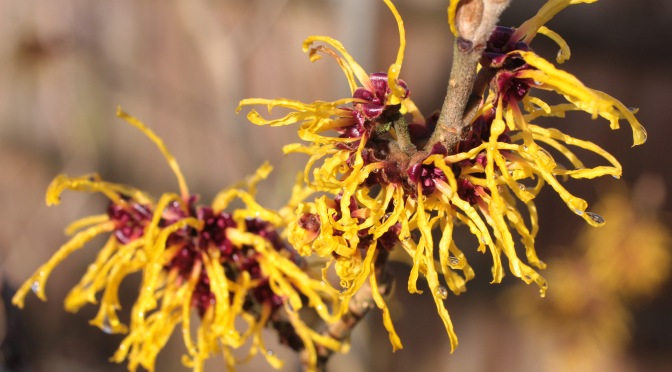 Witch Hazel: Blooming for Halloween at Lathrop