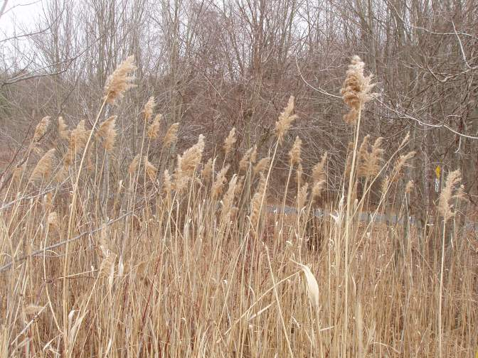 What's NOT Here at Lathrop: Phragmites