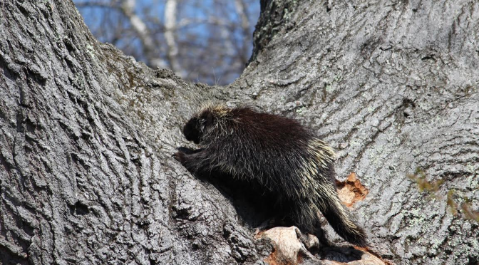We Shot Our Porcupine–On Camera