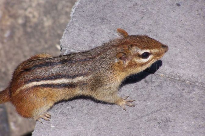 Chipmunks at Lathrop: Omnivorous and Omnipresent