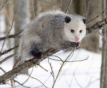 A Lathrop Opposum–Right Out in Daylight!