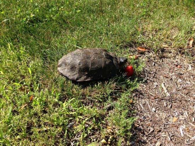 Why Did Our Turtle Cross the Road?
