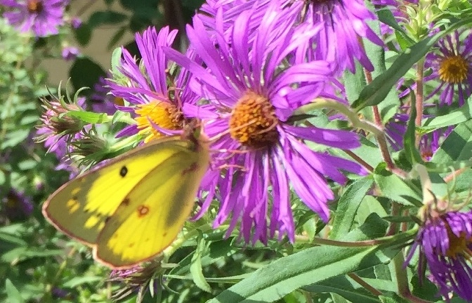 Lathrop's Asters–Summer's Last Feast