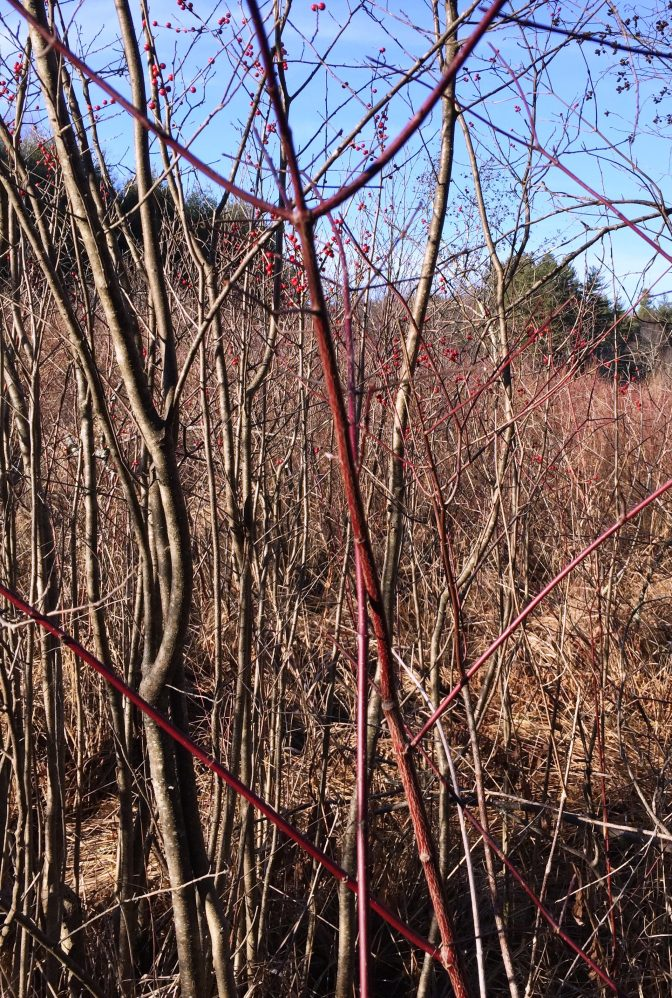 Liberating Lathrop's Red Osier Dogwood