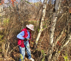 REsident Eleanor Herman removing invasive shrubs and vines from the woods behind Cranberry Lane homes. November, 2016