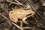 This wood frog (Lithobates sylvaticus) lives part of its life on the dry land and part in a vernal pool. http://vernalpool.org/BSW/index.htm