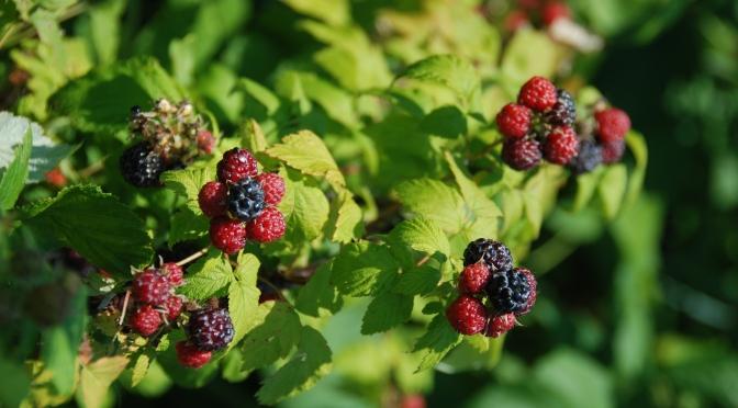 Eating Black Raspberries at Lathrop