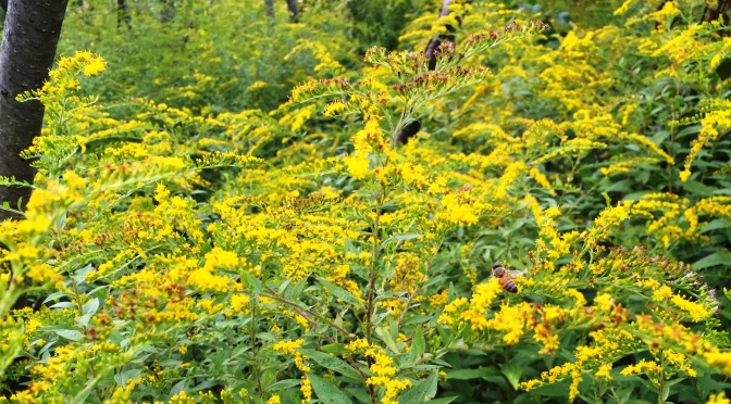 A Banquet of Goldenrod at Lathrop