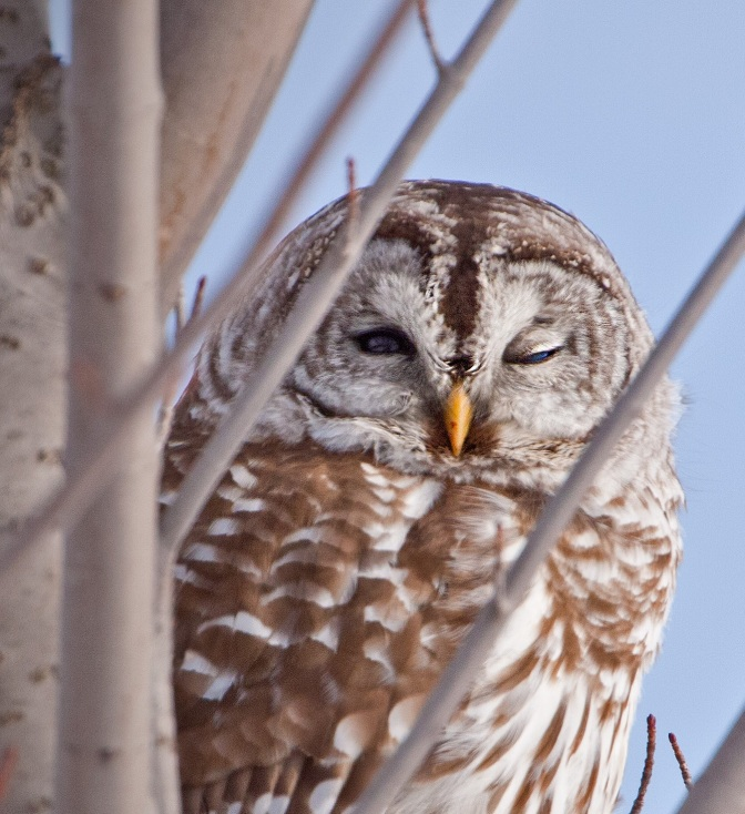 Staying Put: Barred Owls at Lathrop
