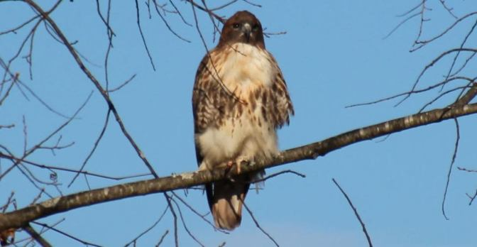 Staying Put at Lathrop:  Red Tailed Hawks