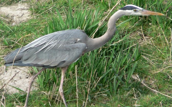 Staying Put at Lathrop: Great Blue Herons