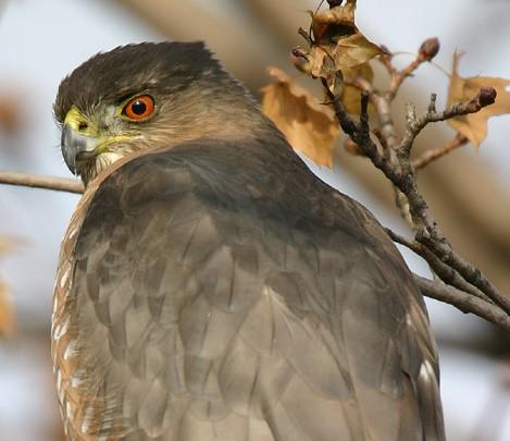 Surprise–A Cooper's Hawk