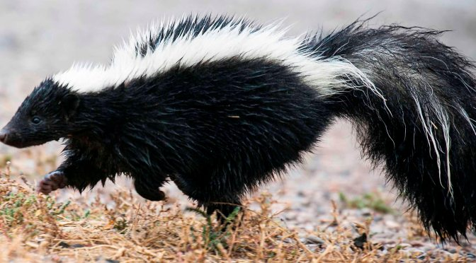 Wanted: Skunks